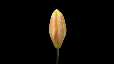 Time-lapse of opening pink lily 7 isolated on black Stock Video Footage