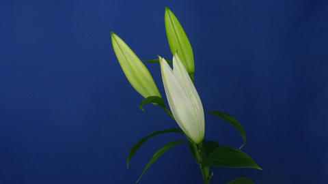 Time-lapse of white opening lily 3 Stock Video Footage