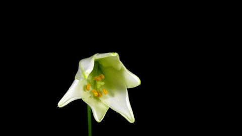 Time-lapse of white Easter lily opening 1 Stock Video Footage