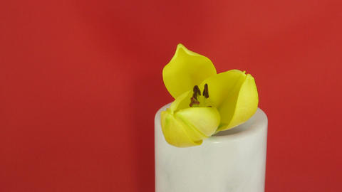 Time-lapse of yellow lily opening Stock Video Footage