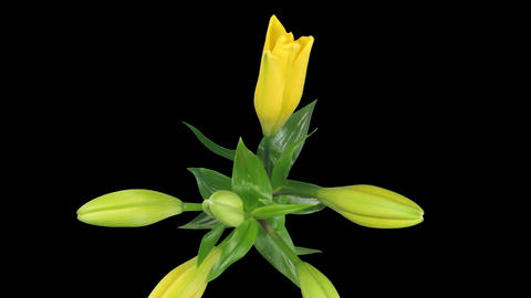 Time-lapse of yellow lily opening 3 isolated on black Stock Video Footage