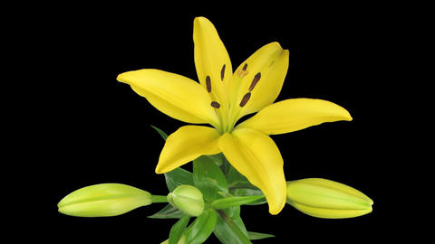 Time-lapse of yellow lily opening 3 isolated on black Footage