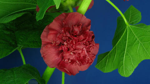 Time-lapse of blooming red filled mallow flower 1 Stock Video Footage