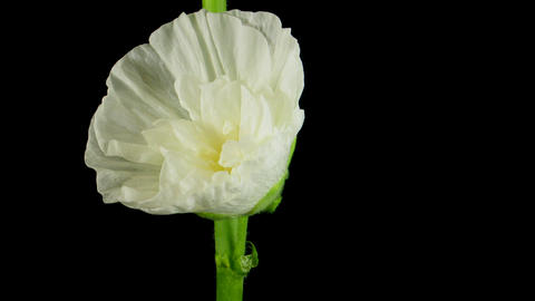 Time-lapse of blooming white filled mallow flower 1 Stock Video Footage