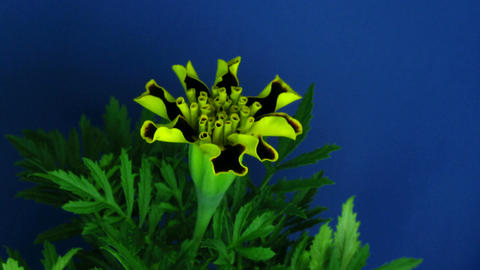 Time-lapse of growing marigold flower 1 Stock Video Footage