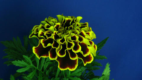 Time-lapse of growing marigold flower 1 Footage