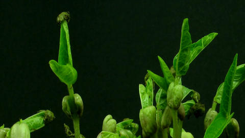 Time-lapse of growing mung beans 3 Footage