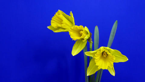 Time-lapse of yellow narcissus flowers opening 1 Stock Video Footage