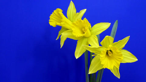 Time-lapse of yellow narcissus flowers opening 1 Footage