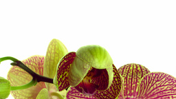 Time-lapse of opening mottled orchid 1 Stock Video Footage