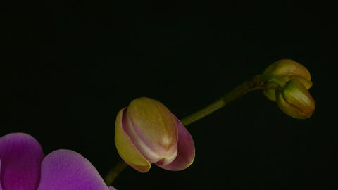 Time-lapse of opening purple orchid 1 Stock Video Footage