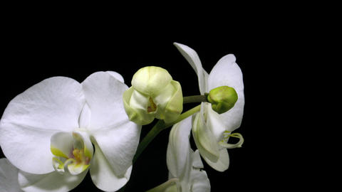 Time-lapse of white orchid opening 1 Stock Video Footage