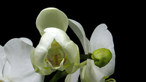 Time-lapse of white orchid opening 3 Stock Video Footage