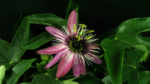Time-lapse of passiflora opening and closing 1 Footage