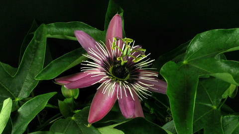 Time-lapse of passiflora opening and closing 1 Stock Video Footage