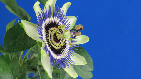 Time-lapse of closing passiflora 3b against blue background Stock Video Footage