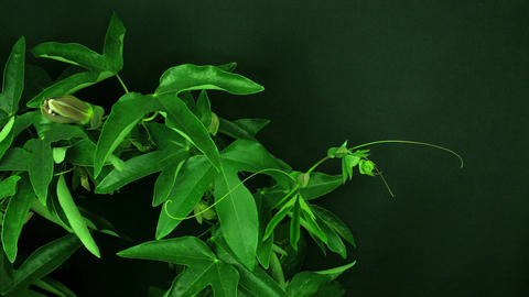 Time-lapse of growing passiflora tendrils 1 Stock Video Footage