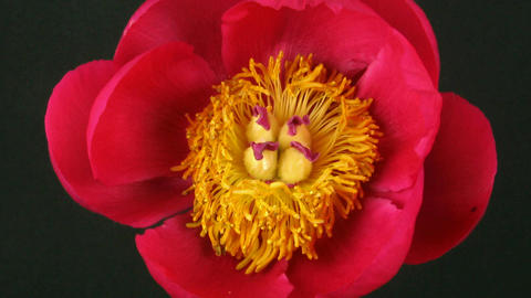Time-lapse of opening red peony 2 Stock Video Footage