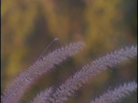Purple reeds blow in the breeze Stock Video Footage