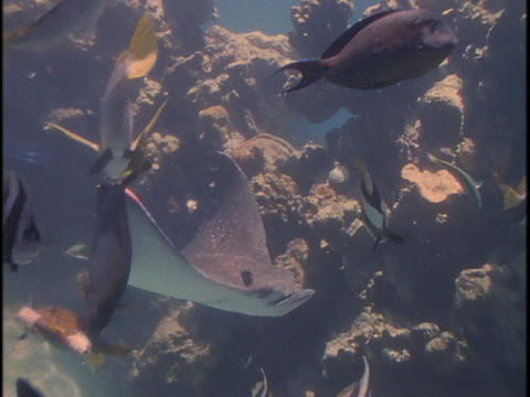 A manta ray glides through the water amongst tropical fish Stock Video Footage