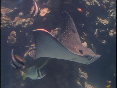 A manta ray glides through the water amongst tropical fish Footage