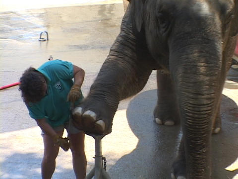 An elephant gets a pedicure at he zoo Stock Video Footage
