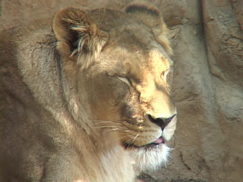 A lion observes his surroundings Stock Video Footage