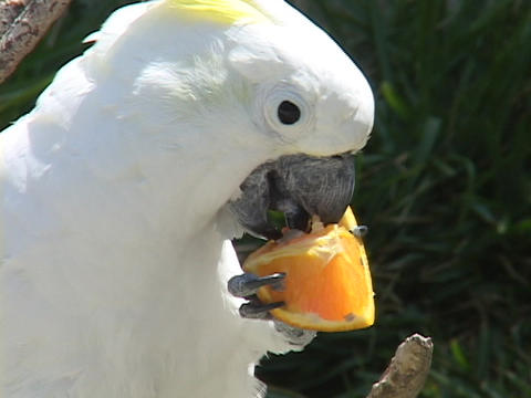 A cockatoo eats an orange Stock Video Footage