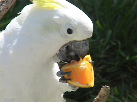 A cockatoo eats an orange Footage
