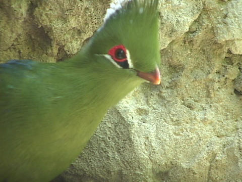 A tropical bird observes its surroundings Stock Video Footage