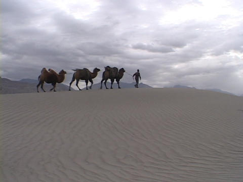 A man leads camels across the desert Footage