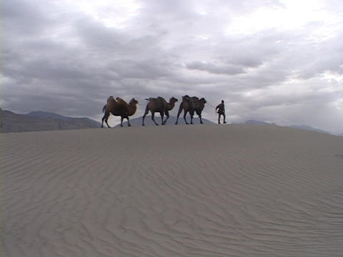A man leads camels across the desert Stock Video Footage