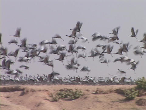 Demoiselle cranes fly from a desert landscape in... Stock Video Footage
