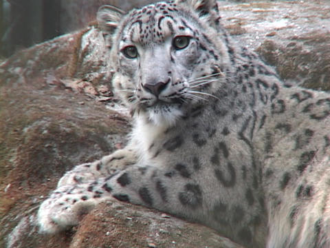 A Himalayan snow leopard lounges on a rock Footage