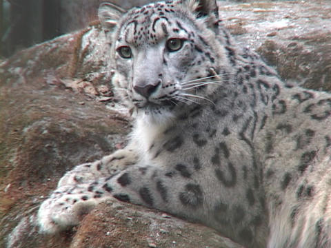A Himalayan snow leopard lounges on a rock Stock Video Footage