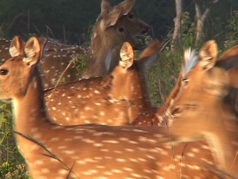 A herd of spotted deer walk across fields Footage