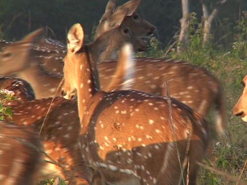A herd of spotted deer walk across fields Stock Video Footage