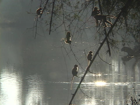 A group of monkeys sit in a tree above the lake Footage