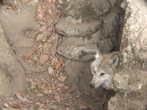 A white wolf leaves a cave Stock Video Footage