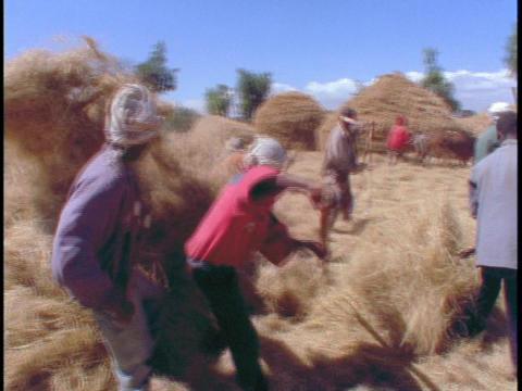 African farmers harvest hay Footage