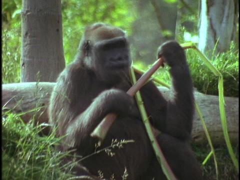 A mountain gorilla eats bamboo shoots Stock Video Footage