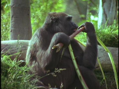 A mountain gorilla eats bamboo shoots Live Action