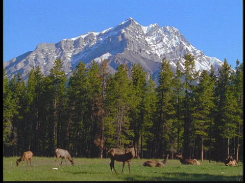 Elk graze in in a meadow in the Canadian Rockies Stock Video Footage