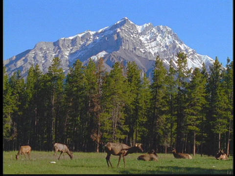 Elk graze in in a meadow in the Canadian Rockies Live Action