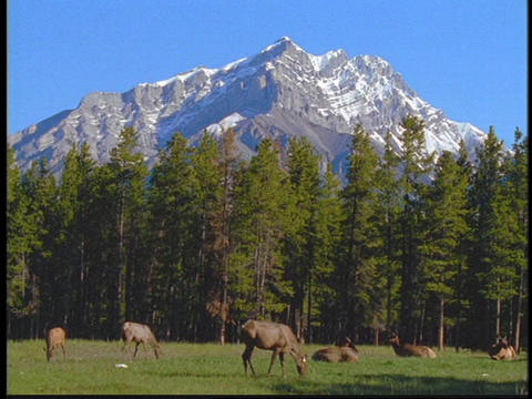 Elk graze in in a meadow in the Canadian Rockies Stock Video Footage