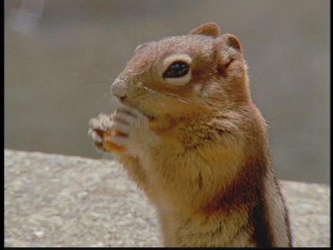A chipmunk nibbles a nut Footage