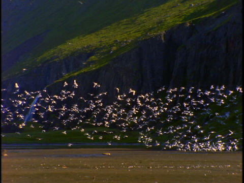 A flock of birds flies upward and circles the ground Footage