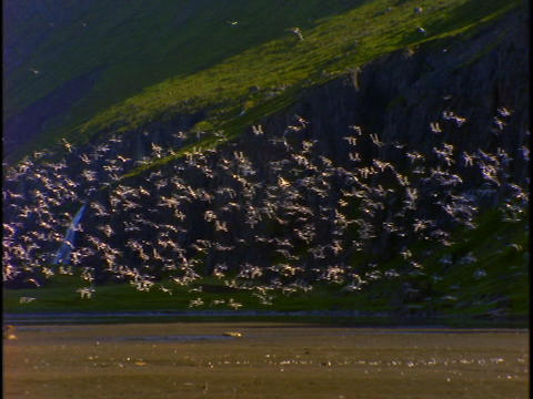 A flock of birds flies upward and circles the ground Stock Video Footage