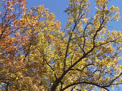 Golden leaves adorn an aspen tree Stock Video Footage
