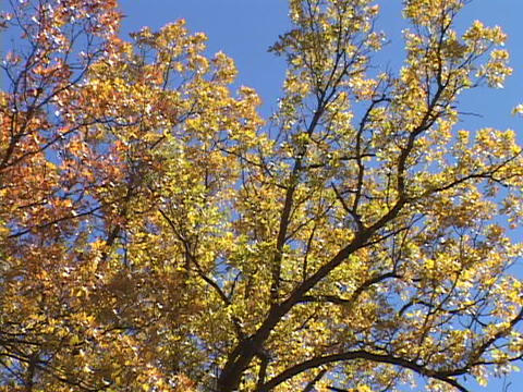 Golden leaves adorn an aspen tree Footage
